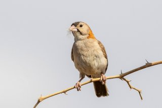 Speckle-fronted Weaver - Sporopipes frontalis
