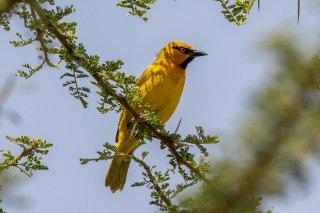 Spectacled Weaver - Ploceus ocularis