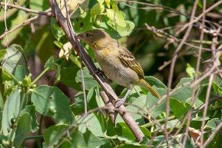 Spectacled Weaver (f) - Ploceus ocularis