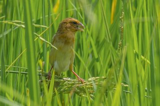 Streaked Weaver (f) - Ploceus manyar
