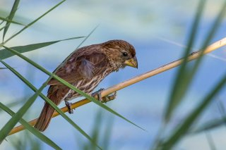 Thick-billed Weaver - Amblyospiza albifrons
