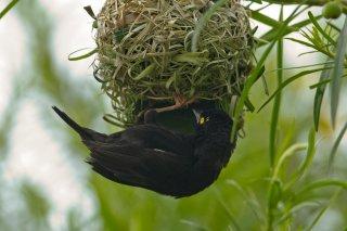 Vieillot's Black Weaver - Ploceus nigerrimus