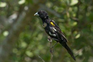 White-winged Widowbird - Euplectes albonotatus
