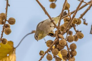 Abyssinian White-eye - Zosterops abyssinicus