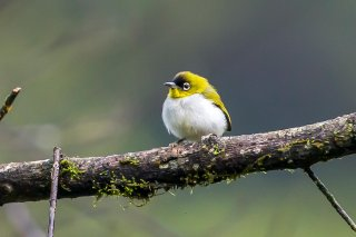 Black-crowned White-eye - Zosterops atrifrons
