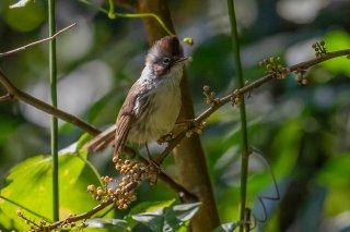 Burmese Yuhina - Yuhina humilis