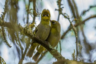 Cape White-eye - Zosterops virens
