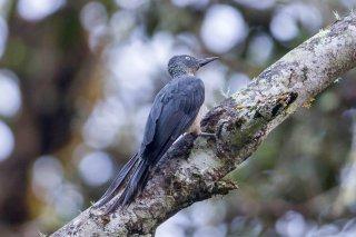 Ashy Woodpecker (f) - Mulleripicus fulvus
