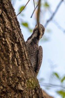 Bearded Woodpecker (f) - Chloropicus namaquus
