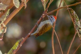 Brown-backed Woodpecker