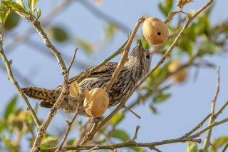 Cardinal Woodpecker (f)