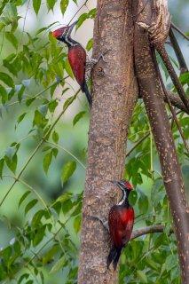 Crimson-backed Flameback - Chrysocolaptes stricklandi