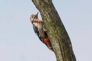 Crimson-breasted Woodpecker - Dryobates cathpharius