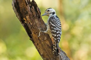 Fulvous-breasted Woodpecker (f)