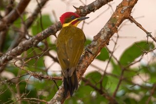 Golden-green Woodpecker - Piculus chrysochloros
