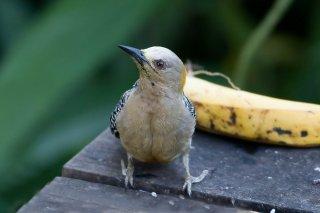 Hoffmann's Woodpecker (f)