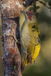 Iberian Green Woodpecker