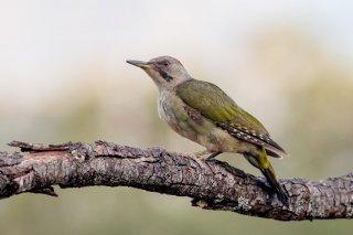 Iberian Green Woodpecker (f)