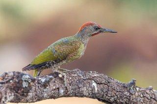 Iberian Green Woodpecker (j)