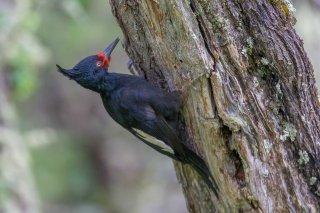 Magellanic Woodpecker (f)
