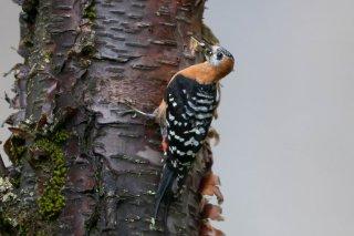 Rufous-bellied Woodpecker (f)