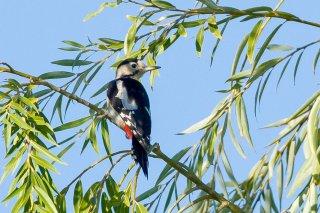Syrian Woodpecker (f)