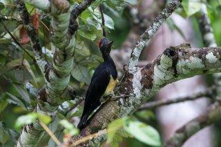 White-bellied Woodpecker (f)