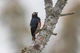 Yellow-tufted Woodpecker (f)