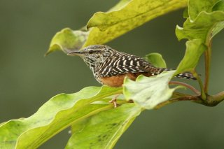 Band-backed Wren - Campylorhynchus zonatus