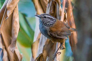 Grey-breasted Wood Wren - Henicorhina leucophrys
