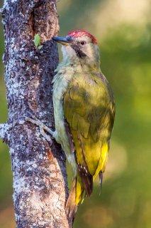 Green-Woodpecker-f.jpg