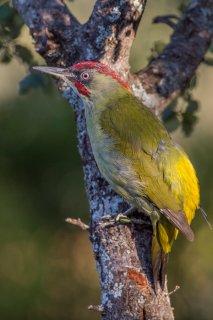 Green-Woodpecker2.jpg