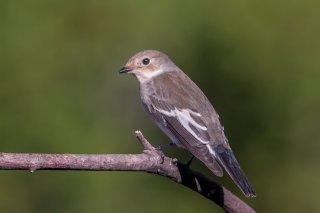 Pied-Flycatcher-f.jpg
