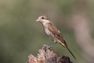Woodchat-Shrike-juvenile.jpg