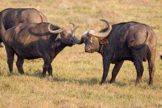 3T9P3908_-_African_Buffalo.jpg