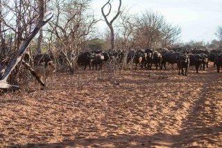 C16V4267_-_Lions-African_Buffalo.jpg