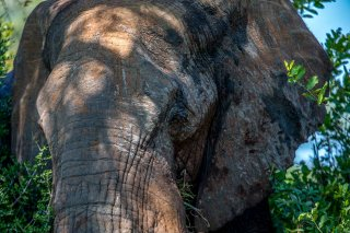 C16V3478_-_African_Elephant.jpg
