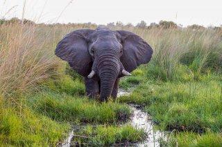 C16V3807_-_African_Elephant.jpg