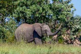 C16V3998_-_African_Elephant.jpg