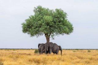 C16V4074_-_African_Elephant.jpg