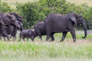 C16V5940_-_African_Elephant.jpg