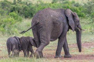C16V5961_-_African_Elephant.jpg