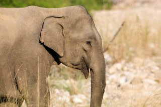 3T9P2937_-_Indian_Elephant.jpg