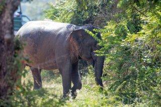 C16V7952_-_Asian_Elephant.jpg