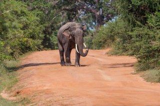 C16V8632-_Asian_Elephant.jpg