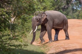 C16V8636_-_Asian_Elephant.jpg