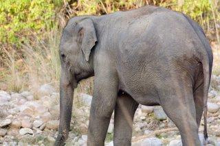 IMG_0956_-_Indian_Elephant.jpg
