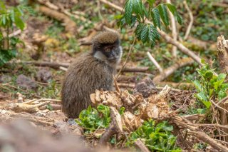 2M3A9924_-_Bale_Mountains_Vervet.jpg