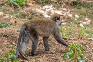 2M3A9928_-_Bale_Mountains_Vervet.jpg