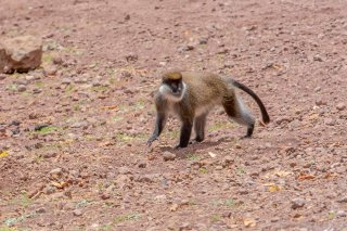 2M3A9935_-_Bale_Mountains_Vervet.jpg